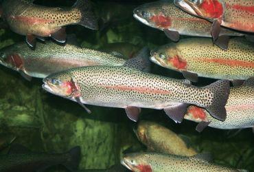 Создание рыбоводног комплекса для выращивания радужной форели